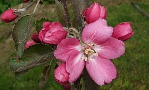 Apfelblüte Weirouge